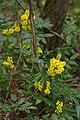 Korina 2015-04-17 Mahonia aquifolium 5.jpg