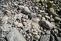 Kreide zwischen Steinen an der Steilküste Sassnitz.jpg
