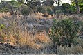 Krugerův park - lvice (lioness) - panoramio.jpg