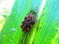 Kumbang Jagung 2.jpg