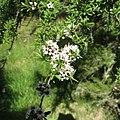 Kunzea ericoides.jpg
