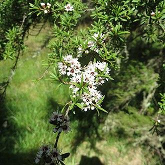 Kunzea ericoides - Kunzea ericoides growing near Dunedin