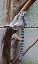 Lémur de cola anillada (Lemur catta), Tierpark Hellabrunn, Múnich, Alemania, 2012-06-17, DD 01.JPG