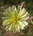 L. serriola-flor-1.jpg