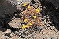 La Palma - El Paso-Fuencaliente - LP-2 - Lava of El Charco + Aeonium 01 ies.jpg
