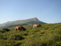 Pottokak sur fond de La Rhune (Pyrénées-Atlantiques)