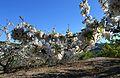 La Vall de Gallinera, branca de cirerer en flor.JPG