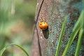 Ladybug (2578808404).jpg
