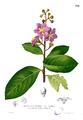 Lagerstroemia reginae Blanco2.314.png