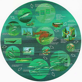Fish migration - Life cycle of anadromous fish. From a U.S. Government pamphlet. (Click image to enlarge.)