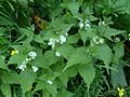 Lamium album (White Dead-nettle), Wigtown, Dumfries and Galloway, Scotland.jpg