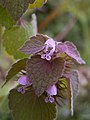 Lamium purpureum, 2020-05-05, Beechview, 02.jpg