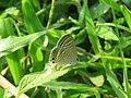 Lampides boeticus - Pea Blue at Aralam Wildlife sanctuary during Aralam butterfly survey 2020 (10).jpg