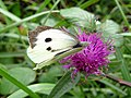 Large White Butterfly - geograph.org.uk - 931668.jpg