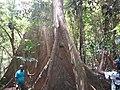 Largest tree in Ghana Nigeria.jpg
