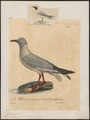Larus cirrhocephalus - 1825-1834 - Print - Iconographia Zoologica - Special Collections University of Amsterdam - UBA01 IZ17900276.tif