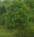 Lauraceae Caryodaphnopsis.jpg
