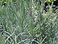 Lavandula augustifolia Betty Blue 1zz.jpg