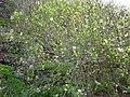 Lavatera acerifolia var. acerifolia - habit.jpg