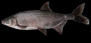 <i>Lavinia exilicauda</i> Species of fish