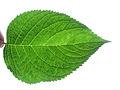 Leaf fractal like.JPG