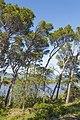 Leaning pine trees in Sainte-Lucie Island, Aude 01.jpg