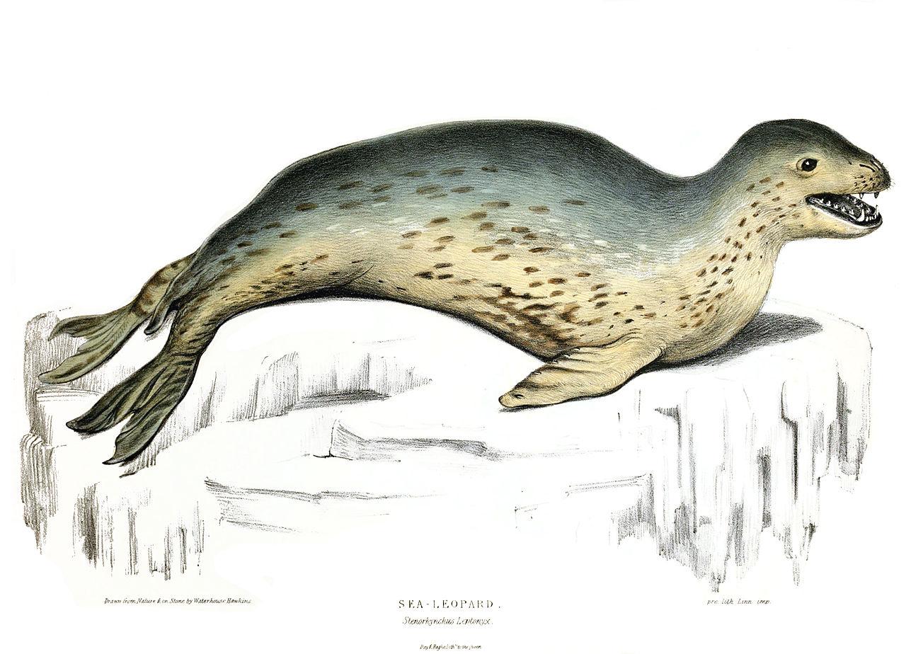 File:Leopard Seal 1844.jpg - Wikimedia Commons