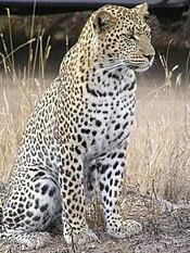 Leopard africa.jpg