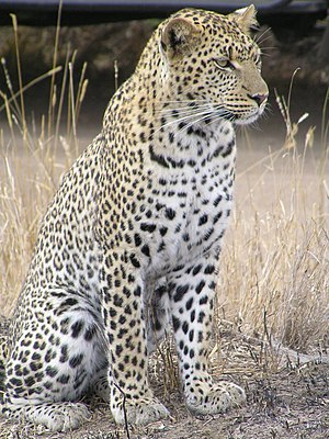 Leopard - African leopard at Serengeti National Park, Tanzania