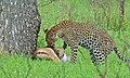 Leopard with kill (Panthera pardus) (5984407741).jpg