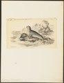 Leptonyx weddelli - 1700-1880 - Print - Iconographia Zoologica - Special Collections University of Amsterdam - UBA01 IZ21100163.tif