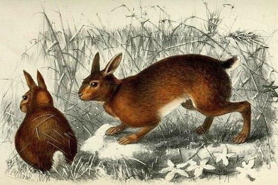 Lepus hainanus