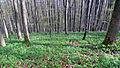 Lerchensporn im frühlingshaften Buchenwald.JPG