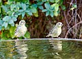 Lesser Goldfinches (38567676626).jpg