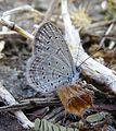 Lesser Grass Blue Zizina otis Pench TR by Dr. Raju Kasambe 428 (2).jpg