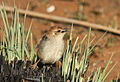 Levaillant's Cisticola, Cisticola tinniens at Suikerbosrand Nature Reserve, Gauteng, South Africa (14982623350).jpg
