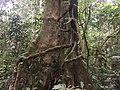 Liane vor Baum, Cuyabeno, Ecuador.jpg