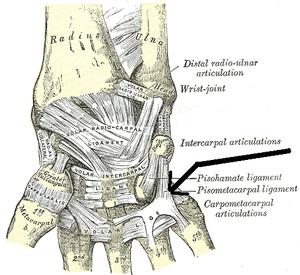 Pisometacarpal ligament - Image: Ligamentumpisometaca rpeum