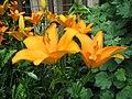 Lilium Botticelli.jpg