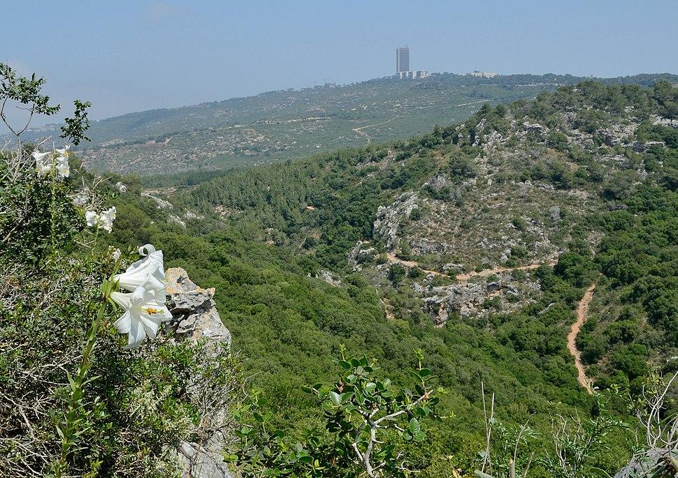 Lilium candidum in Wadi Kelah 1
