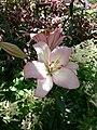 Lilium samur 2.jpg