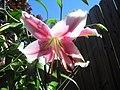 Lily (9110988056).jpg