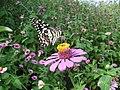 Lime Butterfly Papilio demoleus on Zinnia Yavatmal Maharashtra DSCF4513 Raju Kasambe.JPG