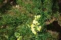 Linaria vulgaris 01.JPG