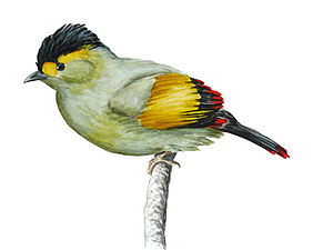 Bugunhäherling (Liocichla bugunorum), Illustration