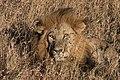 Lion (27973029620).jpg