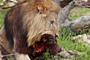 Lion dévorant son déjeuner