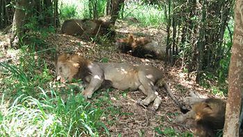 Lions enjoying a slumber under the tree shade.jpg