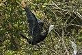 Little Pied Cormorant - Stewart Island - New Zealand (38278192105).jpg