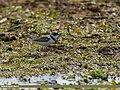 Little Ringed Plover (Charadrius dubius) (32382226574).jpg
